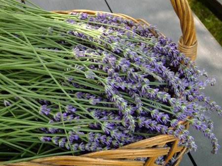 Czysty olejek eteryczny lawendowy